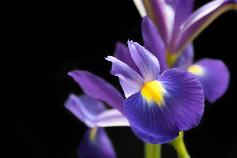 Iris di MA