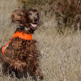 Gibbs at the Park by Susan Hughes - Animals - Dogs Running ( dog running, park, gibbs )