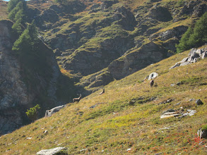 Photo: We pass a group of ibex ...