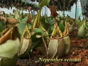 Photo: Nepenthes veitchii. Video image: S. Hartmeyer.