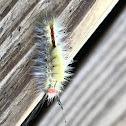 Whitemarked Tussock Moth Caterpillar