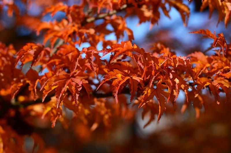 i colori dell'acero di nicoletta lindor