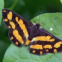 Synargis butterfly