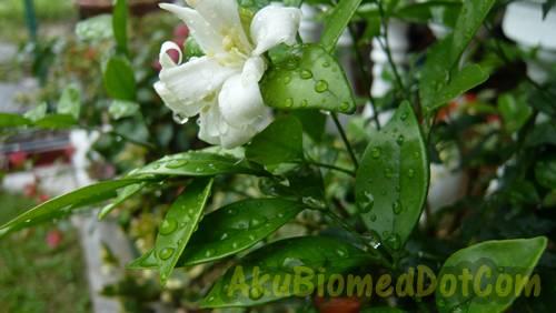 Pokok bunga haisan