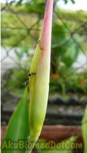 Semut pada bunga pokok hiasan pagar