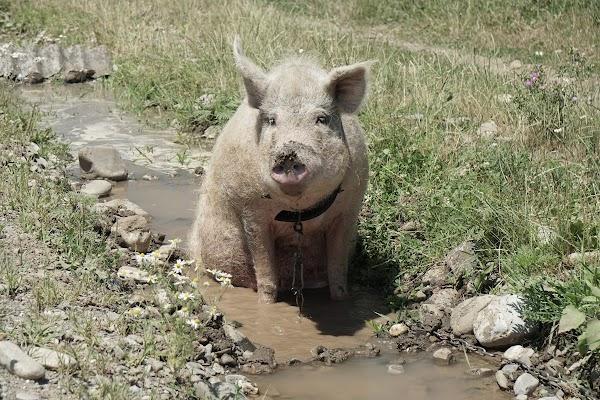 Ein Schwein badet in einem Graben neben der Straße.