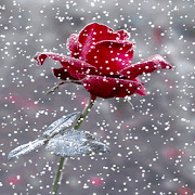 Red Snowy Rose LWP