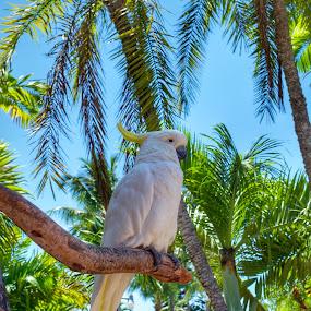 Cacatoes by Olivier Grau - Animals Birds ( bird, palm tree, tree, summer, branch,  )