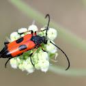 Two-spot longhorn beetle; Longicornio de dos manchas