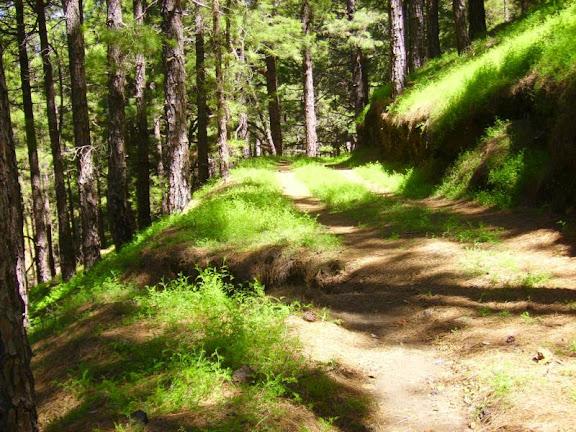 Durch den Kiefernwald,La Palma,Kanaren