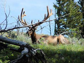Photo: Elk in Yellowstone National Park