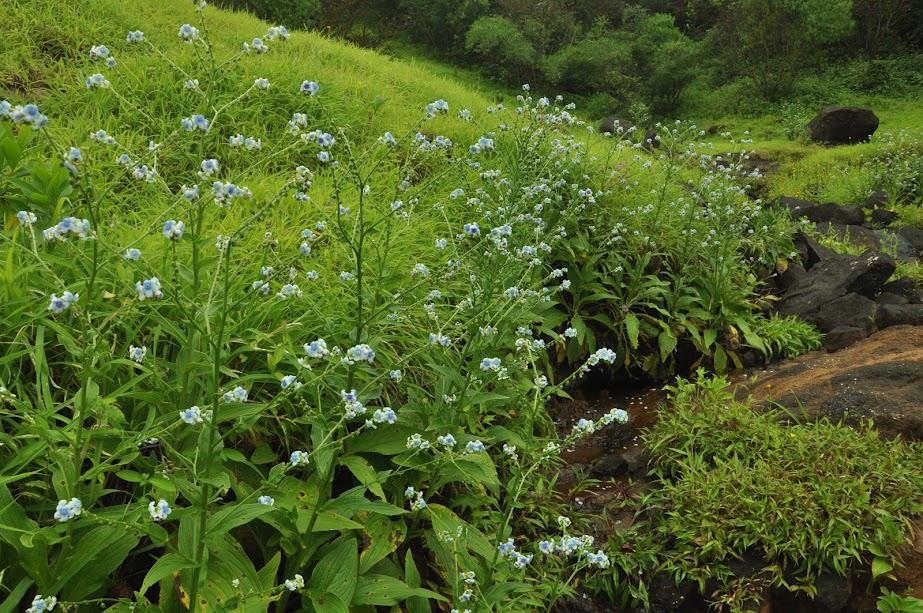 निसुर्डी - Hill borage A beautiful flower plant