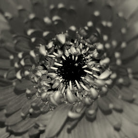 B&W by Nelson Coelho - Flowers Single Flower