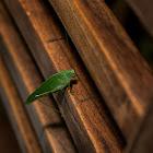 Philippine Katydid