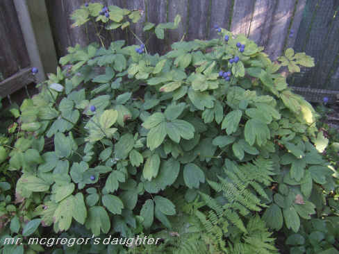The Best Virtually Unknown Native Shade Garden Plant*
