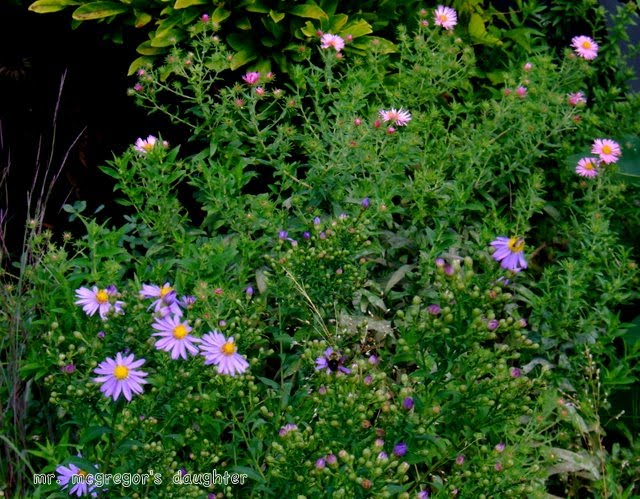 "If There Are ""Asters,"" It Must Be September"