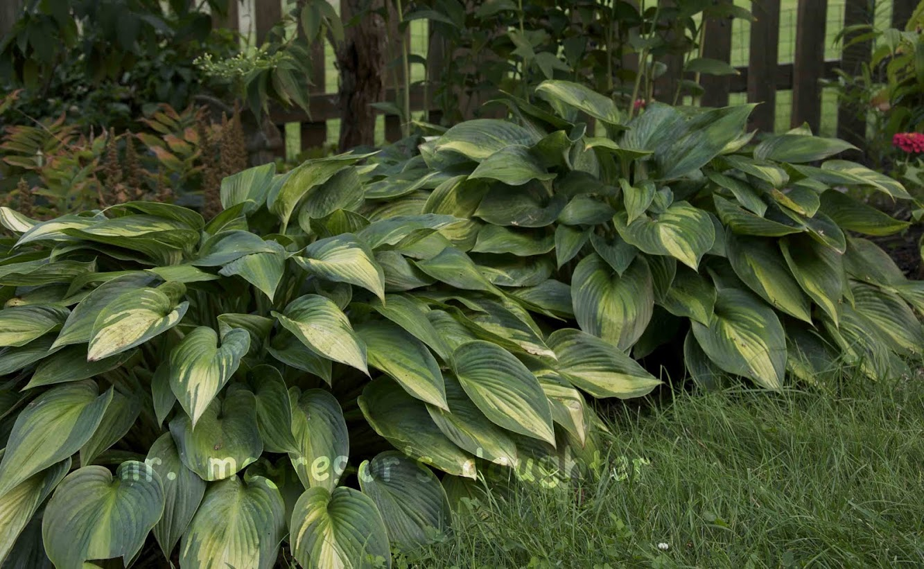 Three for Thursday: Outstanding Hostas
