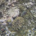 Coral lechuga
