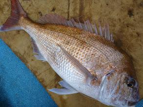 Photo: 「いかつい顔」の真鯛でしたー!