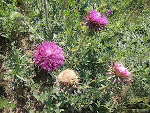 Photo: bogáncs virága