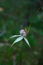 Photo: Caladenia splendens