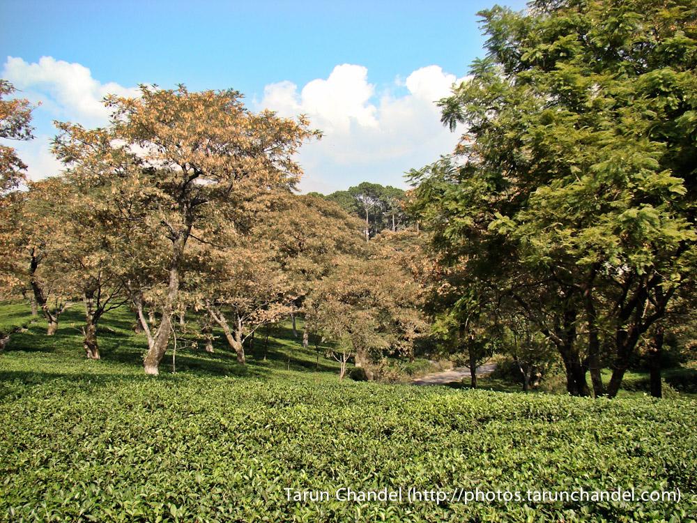 Tea Garden Dharamshala Himachal, Tarun Chandel Photoblog