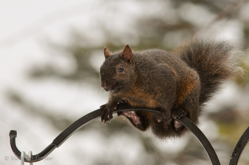 squirrel balancing act