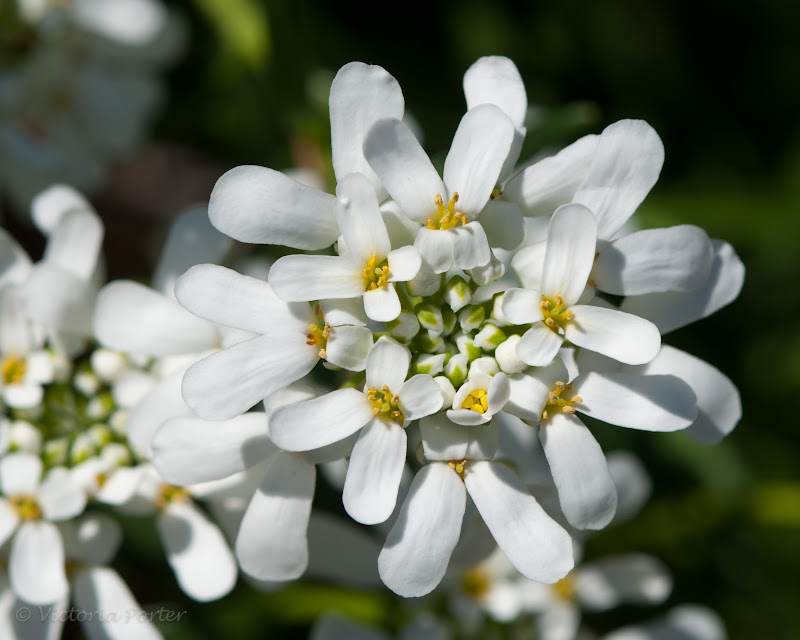 Candytuft in sunlight