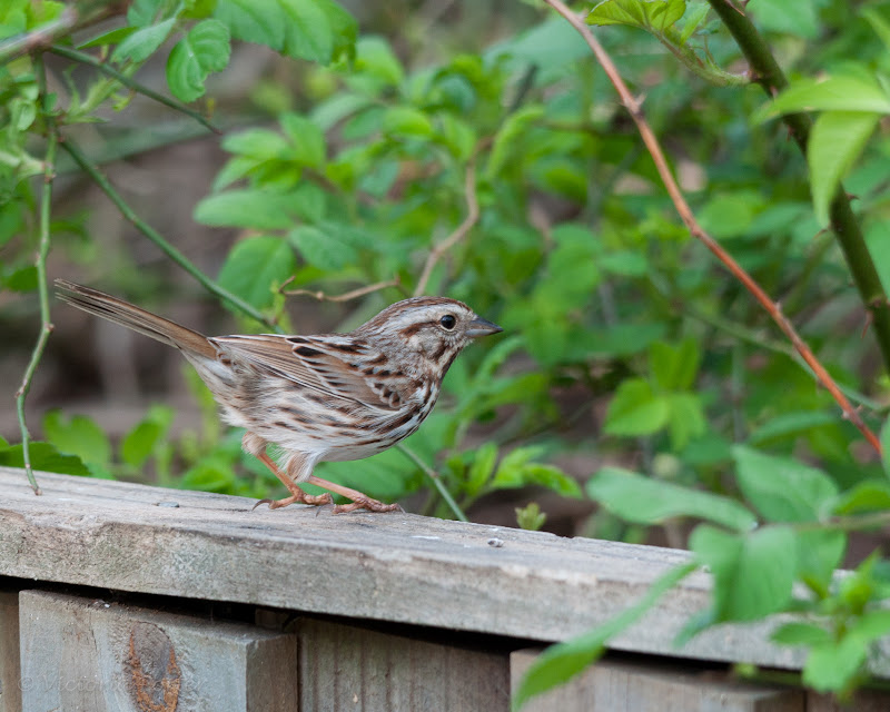 Song Sparrow in the garden