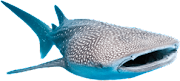 Google Lens identifying a whale shark