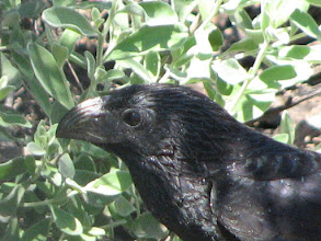 Photo: Groove-billed Ani