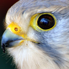European Kestral by Emily Vickers - Animals Birds ( bird, animals, ketstral, nature, beak, wildlife, european kestral, feathers, birds )