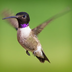 If you're happy and you know it... by April Nowling - Animals Birds ( bird, hummingbird, texas, summer, wildlife, hummer, eye,  )