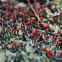 Southern Soldiers Lichen