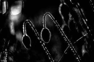 Photo: poppy noire ...