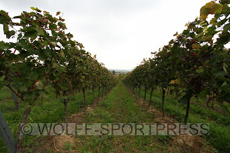 Photo: Reben in den Alsheimer Weinbergen