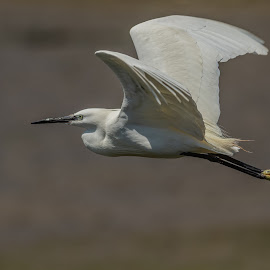 In flight by Barry Smith - Animals Birds ( in flight, nature, animals, birds, wildlife,  )