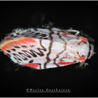 Ziczac Footman Moth