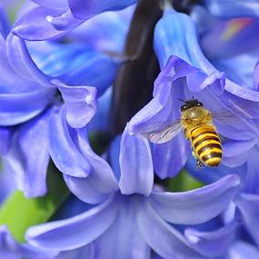 Hyacinthus Orientalis by Leka Huie - Flowers Flower Gardens (  )