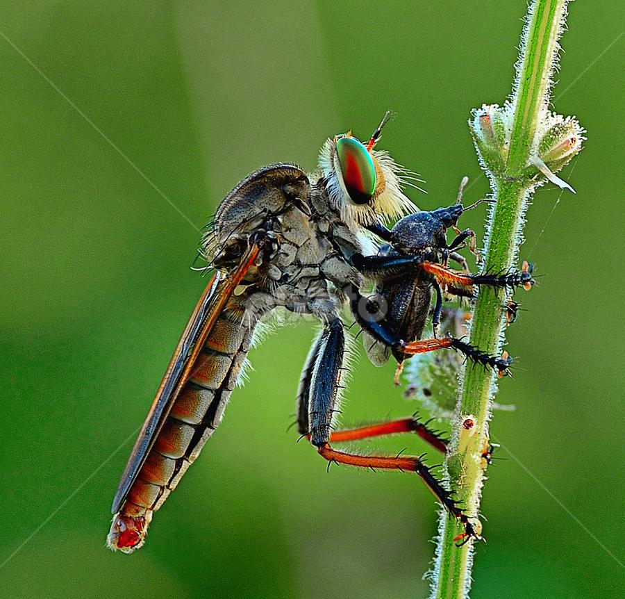 dapat mangsa by Candra Irawan - Animals Insects & Spiders