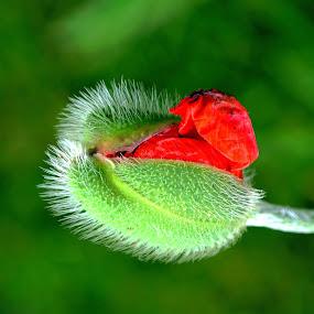 The Alien ! by Jan Siemucha - Nature Up Close Flowers - 2011-2013 ( poppy pod, green, background, poppy, pod )