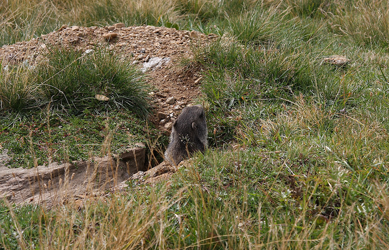 Marmotta di gabriele_pirocchi