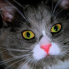 by Joelle McGraw - Animals - Cats Portraits ( love, kitten, cat, pet, fierce, cute, portrait, animal )