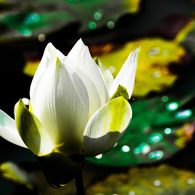 The white lotus. by Nguyen Huu Hung - Nature Up Close Flowers - 2011-2013
