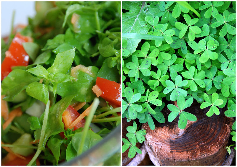 chickweed salad and wood sorrel