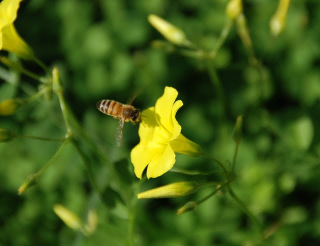 wood sorrel bee