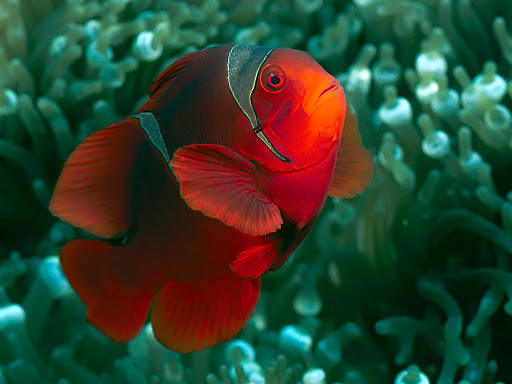 A Spine-Cheek Anemonefish in the Solomon Islands.