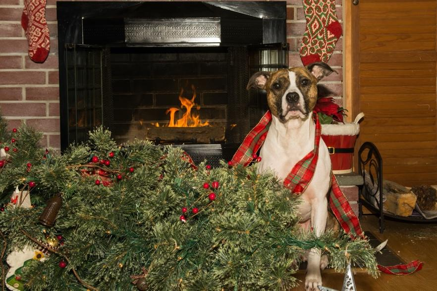 A dog sitting in front of a christmas tree  Description automatically generated