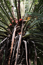Photo: Cycad