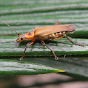 Soldier beetle